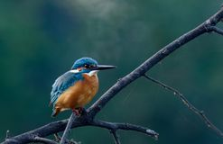 Kingfisher. Dive and catch fish efficiently Royalty Free Stock Photos