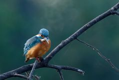 Kingfisher. Dive and catch fish efficiently Stock Photography