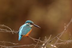 Kingfisher. Dive and catch fish efficiently Stock Image