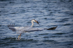 The Dive. A Grey Heron catching a fish Royalty Free Stock Image
