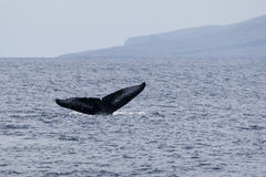 Dive. The tail of a humpback whale, Maui, North Pacific Ocean royalty free stock images