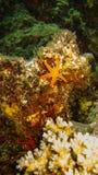 Orange sea star on a stone in australia stock photos