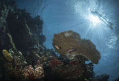 Diver above a coral reef Royalty Free Stock Photos
