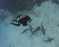 Diver Above Lemon Sharks Stock Photography
