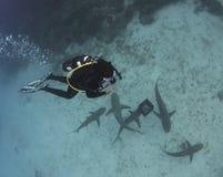 Diver Above Lemon Sharks Stock Photography