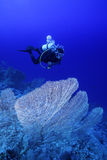 Diver above the Reef. Diver above a big fan Stock Photo