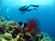 Diver above seafan and corals Royalty Free Stock Photo