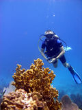 Diver admires fire coral. Stock Photography