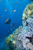 Diver alongside a tropical coral reef Royalty Free Stock Images