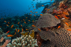 Diver And Tropical Reef In The Red Sea. Royalty Free Stock Image