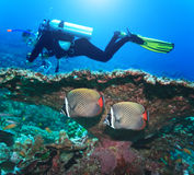 Diver and Angelfishes Stock Images