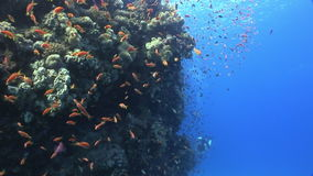 Diver on background School of fish underwater landscape in Red sea. stock footage