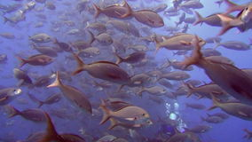 Diver on background of school of fish underwater in sea of Galapagos Islands. stock footage