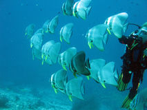 Scuba diving with batfishes in Maldives Royalty Free Stock Photography