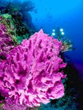 Diver behind pink coral. Diver with lights behind close up of pink coral underwater with swimming fish Stock Images