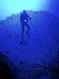 Diver among a big coral Royalty Free Stock Images