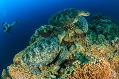 Diver and big turtles... Royalty Free Stock Images