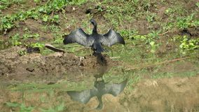 diver bird drying wings stretched in sun reflection on water Stock Image