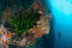 Diver, black sun coral in Ambon, Maluku, Indonesia underwater photo Stock Photo