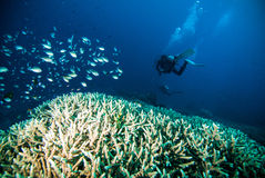 Diver blue water scuba diving bunaken indonesia sea reef ocean. Underwater Royalty Free Stock Photos