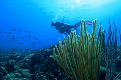 Diver, Bonaire. Underwater diver and coral, Bonaire stock photography