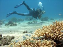 Diver and Branch coral. Branch coral with fish over and under it with diver in the background stock photos