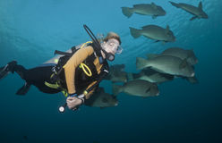 Diver and Bumphead Parrotfish Stock Image