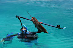 Diver caught black grouper fish. With speargun Stock Photography