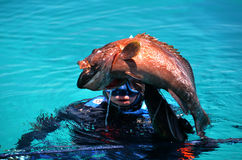 Diver caught black grouper fish. With speargun Royalty Free Stock Photos