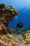 Diver checking out a Kona Reef Royalty Free Stock Photo