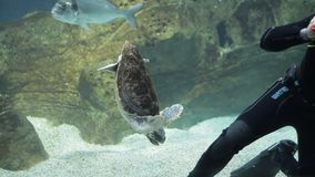 Diver with fish and turtle in an aquarium