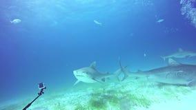 Diver controls shark underwater on sandy bottom of of Tiger Beach Bahamas.