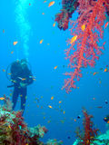 Diver and coral Stock Image