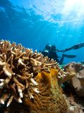Diver and coral Stock Images