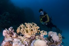 Diver and coral Royalty Free Stock Image