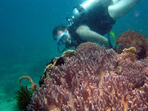 Diver on Coral. Diver hovers above soft coral stock photos