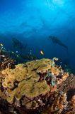 Diver and coral Indonesia Sulawesi. Woman diver above soft coral. Indonesia Sulawesi Lembehstreet Stock Photography