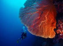 Diver and coral. Lady diver exploring tropical bright reef with big hard coral on foreground Stock Photography