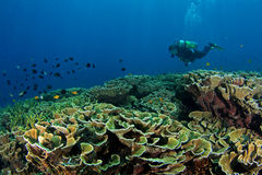 Diver with Coral reef  Stock Photography