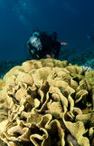Diver and coral reef. Underwater view of male scuba diver with coral reef organism in foreground Stock Images