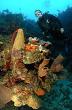 Diver on coral reef. Royalty Free Stock Photos