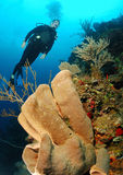 Diver on coral reef. Royalty Free Stock Images