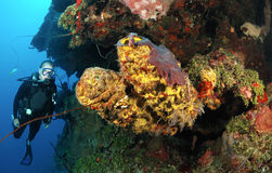 Diver on coral reef. Stock Images