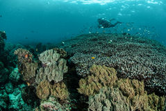 Diver, coral reef, anemone in Ambon, Maluku, Indonesia underwater photo Stock Photos