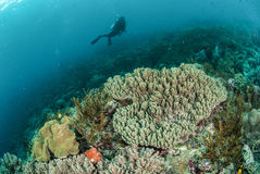 Diver, coral reef, mushroom leather coral in Ambon, Maluku, Indonesia underwater photo Royalty Free Stock Photo