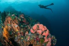 Diver, coral reef, sponge, sea fan in Ambon, Maluku, Indonesia underwater photo Stock Photos