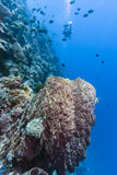Diver on coral reef Royalty Free Stock Photo