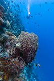 Diver on coral reef Stock Image