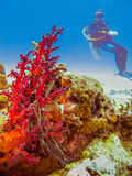 Diver at the corals. Diver at the colorful corals Royalty Free Stock Photos