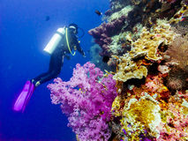 Diver at the corals. Diver at the colorfull corals stock images